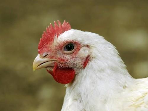 Репелленты с запахом курицы помогут отогнать малярийных комаров