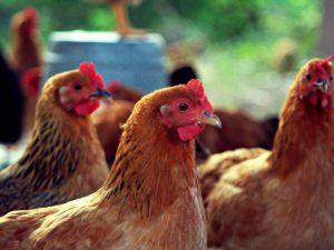 Медики советуют спать с курицей для спасения от малярии