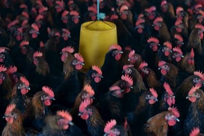 Птичий грипп заставил японцев уничтожить полмиллиона кур