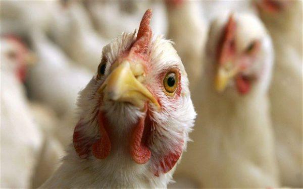 Птичий грипп найден на птицефабрике в Астраханской области