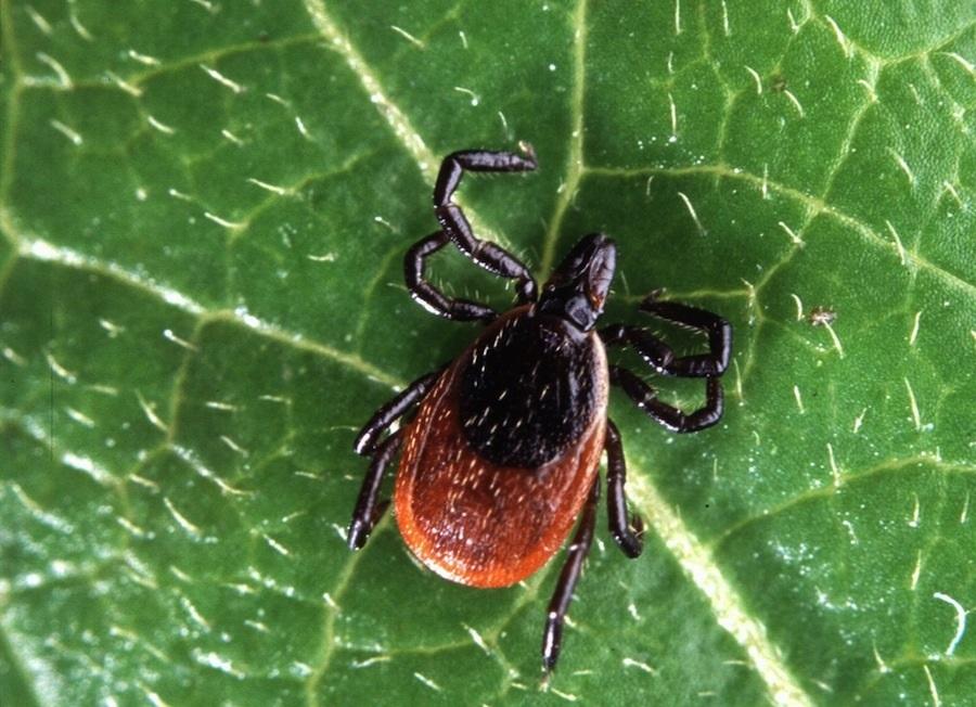 Нанотехнологии помогут избавиться от клещевых инфекций