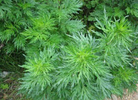 Ученые нашли растение, которое вылечит туберкулез