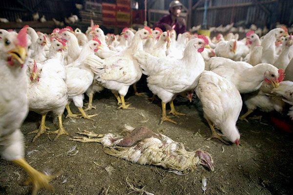 Птичий грипп охватил большинство регионов Чехии