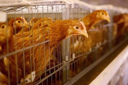 В Подмосковье 11 тысяч кур погибли от птичьего гриппа