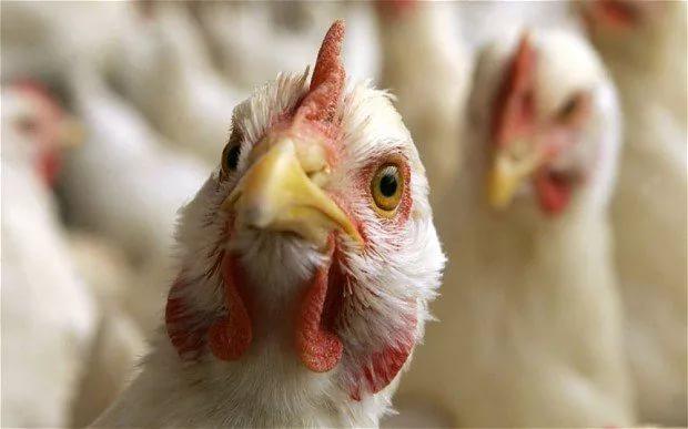 Грипп птиц выявлен в Тульской области впервые за более чем 10 лет