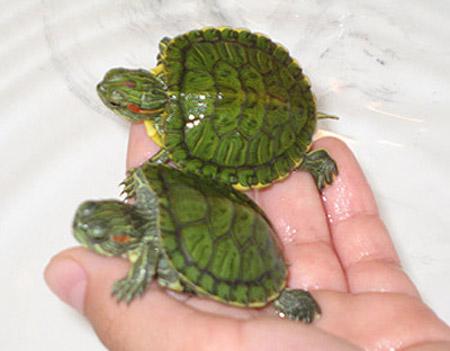 Домашние черепахи могут быть переносчиками сальмонеллеза
