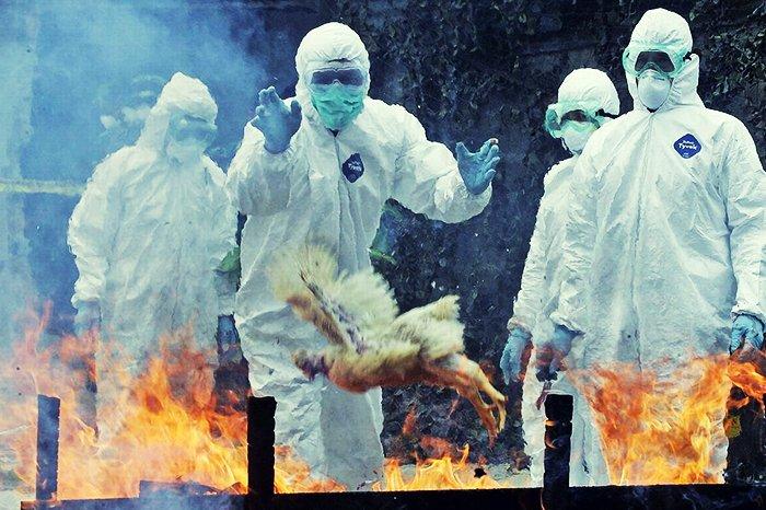 Птичий грипп вернулся в Подмосковье