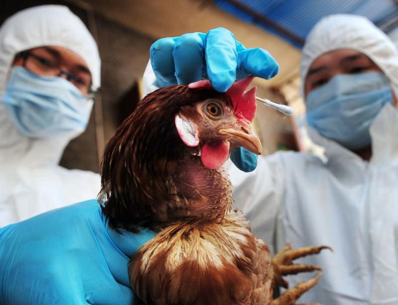 На птицефабрике Дона обнаружили птичий грипп