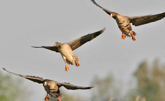 Ветврачи Татарстана проверят добычу охотников на птичий грипп