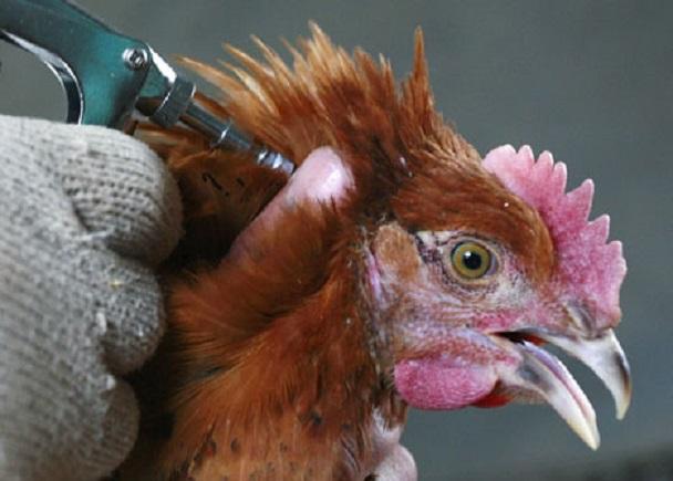 В России разработаны две вакцины против вируса птичьего гриппа
