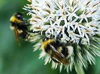 Российские ученые превратят пчел в настоящие заводы по производству лекарств