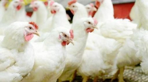 В магазинах по-прежнему продают курицу с антибиотиками