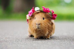 Морские свинки: чем опасны домашние любимцы?