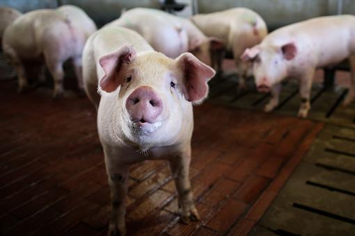 Под Калининградом зафиксировали вспышку африканской чумы свиней