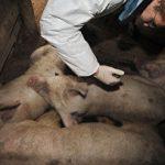Чума свиней: в Крыму зафиксированы новые вспышки