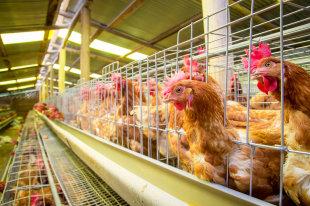 Под Орлом произошла вспышка птичьего гриппа