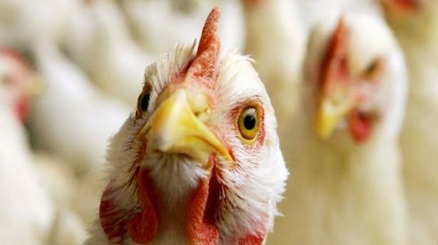 Птичий грипп в Курскую область завёз предприниматель из Липецка