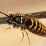 Медики рассказали, что делать при укусе осы или пчелы