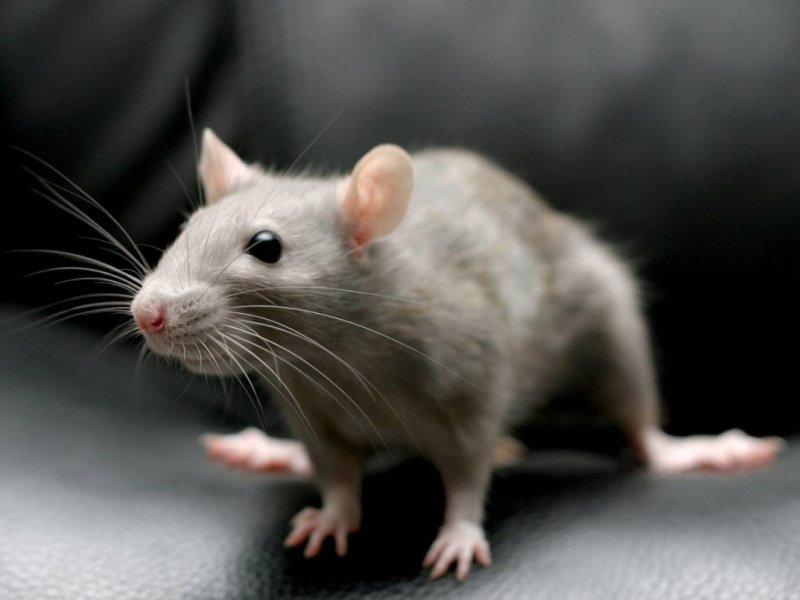 Крысиный гепатит угрожает человечеству
