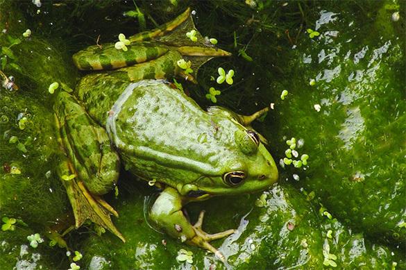 Слизь лягушек поможет вылечить грипп