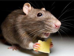 Роспотребнадзор предупреждает дачников о смертельно опасной мышиной лихорадке
