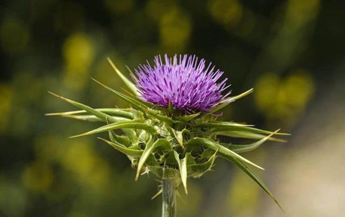 Ученые назвали растение, способное лечить гепатит С