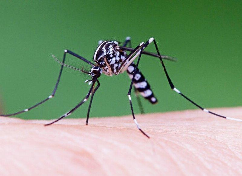 Новый вид городских комаров разносит опасную болезнь