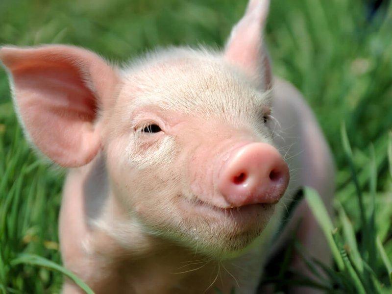 Южная Корея подтверждает новый случай африканской чумы свиней