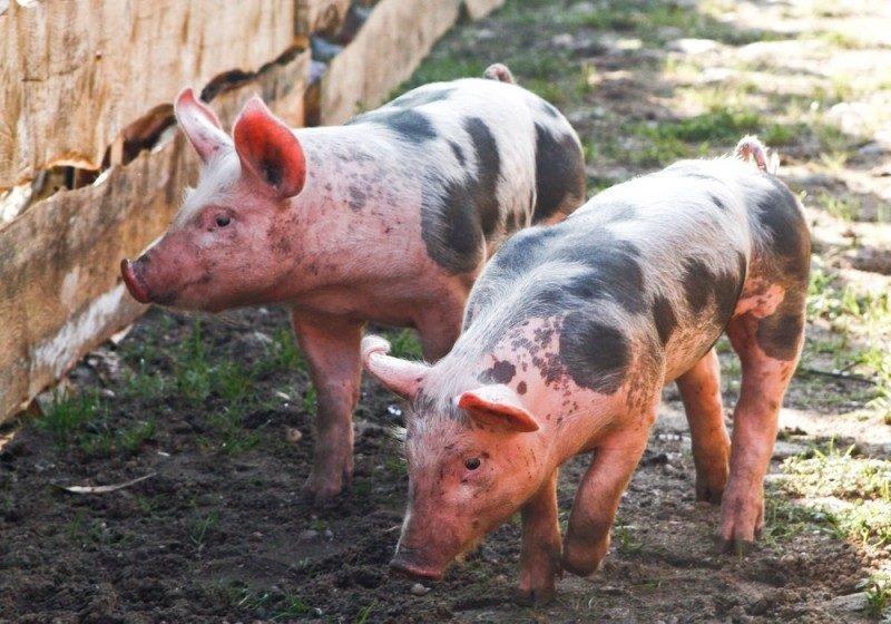 Южная Корея подтверждает новые случаи африканской чумы свиней в приграничном городе Северной Кореи