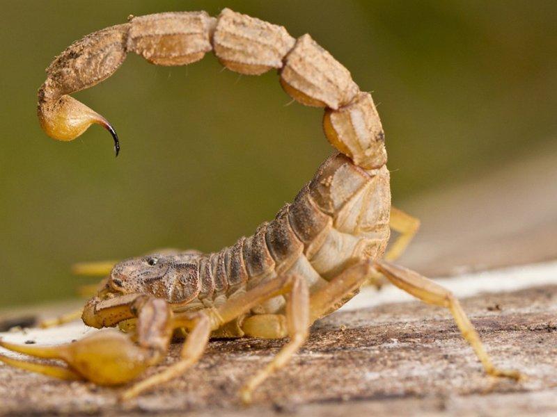 Соединения яда скорпиона могут убивать опасные бактерии