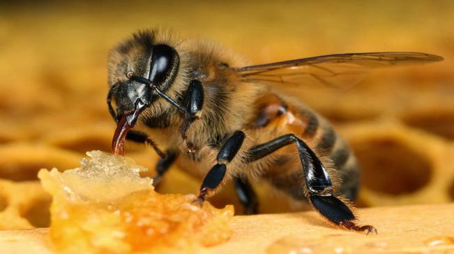 Пчелиный яд убивает ВИЧ