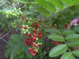 Надоедливый сорняк может спасти от золотистого стафилококка