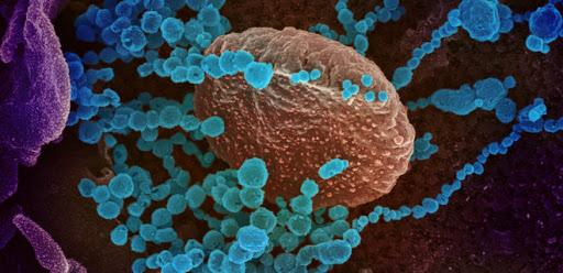Ученые выяснили, как иммунная система реагирует на коронавирус