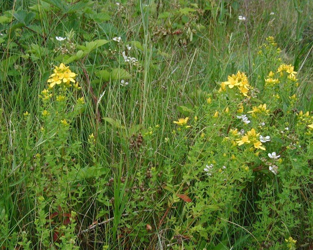 Популярные травы могут защитить от COVID-19