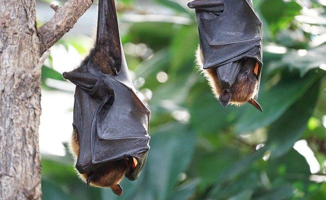 У летучих мышей обнаружили новый коронавирус