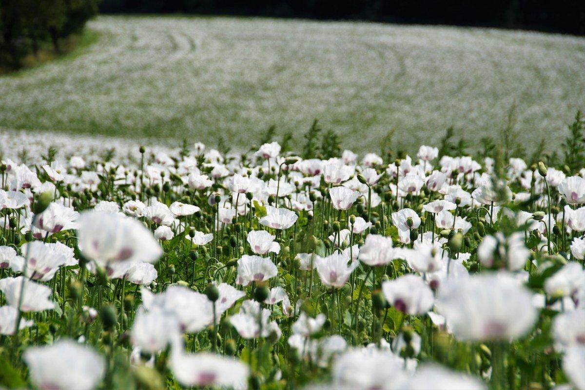 Найден цветок, который может помочь в борьбе с коронавирусом