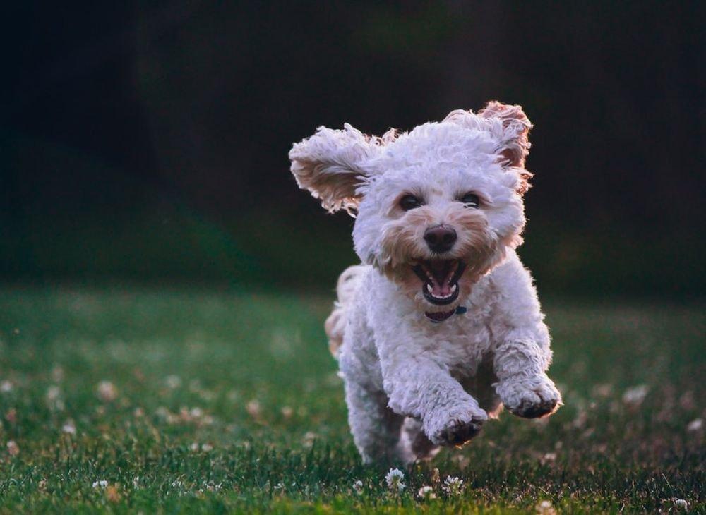 Собачье лекарство поможет в лечении коронавируса у человека